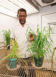 Agronomist Eton Codling inspects wheat plants grown in biosolid-amended soils: Click here for full photo caption.