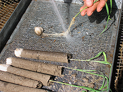Wheat roots being washed to assess disease severity and root growth following a biocontrol treatment: Click here for photo caption.