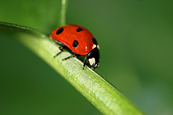 Coccinella septempunctata is a predatory lady beetle introduced in North America to control wheat pests, but its diet also includes pollen and nectar: Click here for full photo caption.