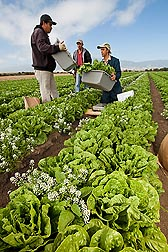 Workers in Salinas, California, harvest organic romaine lettuce produced during a field trial in which alyssum (white flowers) is planted among the lettuce for aphid control: Click here for photo caption.