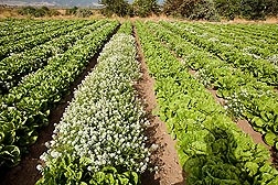 Various patterns of intercropping alyssum with organic romaine lettuce for aphid control were assessed at ARS fields in Salinas, California: Click here for photo caption.