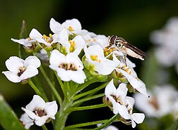 An adult hoverfly on an alyssum flowerhead: Click here for full photo caption.