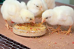 Photo: Chicks pecking at a petri dish filled with corn and gelatin beads. Link to photo information