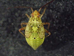 A western tarnished plant bug at the 5th instar nymph stage: Click here for full photo caption.