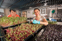 Visiting scientist Liping Kou (left) and technician Ellen Turner harvest different types of microgreens for shelf-life studies and nutrient analyses: Click here for photo caption.