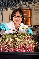 At the Food Quality Laboratory in Beltsville, Maryland, food technologist Yaguang Luo takes samples of swiss chard microgreens for microbial studies: Click here for full photo caption.