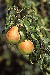 Anjou pears like these don't ripen on the tree: Click here for full photo caption.