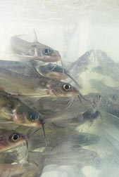 Photo: Catfish fingerlings. Link to photo information