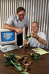 Sugar beets infected with beet curly top virus are inspected by ARS plant pathologist and Western Sugar Company agriculturist. Click here for full photo caption.