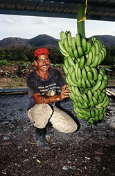 Bananas are readied for shipment. Click here for full photo caption.