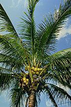 A Manila dwarf coconut palm. Click here for full photo caption.