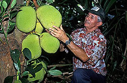Agronomist Francisco Vázquez checks immature jackfruit. Click here for full photo caption.