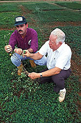 Antonio Sotomayor-Rios (right) and agronomist Salvio Torres-Cardona evaluate the growth of forage peanuts. Click here for full photo caption.
