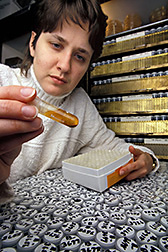 Biological technician Melinda Nunnally examines cultures of sclerotia-forming fungi. Click here for full photo caption.