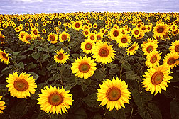 Sunflowers. Click here for full photo caption.