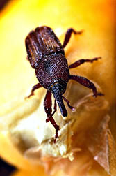 Maize weevil.