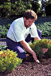 IPM coordinator Scott Aker, raises a Thujopsis dolobrata so its crown is slightly above soil level.