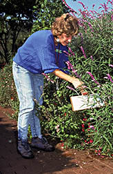 "Joanne Lutz uses a ""beat test"" to find pests on salvia."