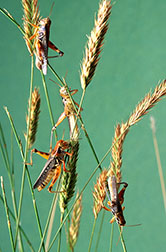 Grasshoppers shown on crested wheatgrass.