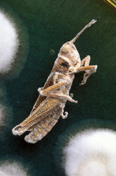 Close-up shows a grasshopper affected by the fungus Beauvaria bassiana.