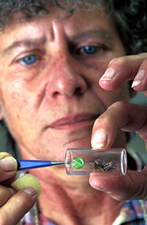 Microbiologist Elaine Oma places a pathogen-infected leaf in a tube with a test grasshopper.