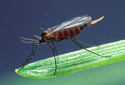 Hessian fly, Mayetiola destructor. Click the image for additional information about it.