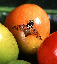 Female Mediterranean fruit fly.