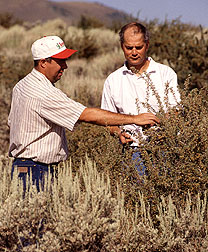 Ecologist William longland and technician Charlie Clements inspect bitterbrush