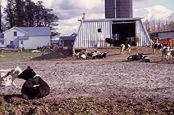 Cattle have a firm footing in this barnyard lot paved with ash. Click here for full photo caption.