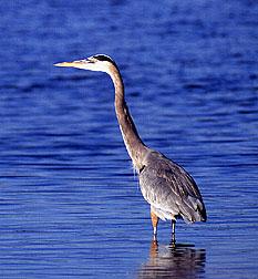 Great Grey heron.