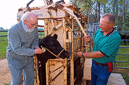 Immunologist Donald Dawe vaccinates a steer against fescue toxicosis. Link to photo information.