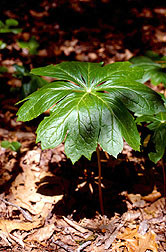 When the mayapple is under attack, it turns on defenses that activate potent toxins such as podophyllotoxins.