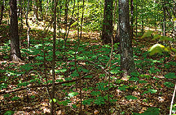The forest floor in the southern United States often contains patches of mayapple. Link to photo information.