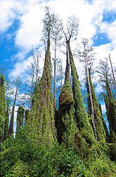 Old World climbing fern growing on cypress trees. Link to photo information.