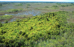 Photo: In the Florida Everglades, Old World climbing fern engulfs a tree island. Link to photo information