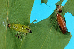 A larvae of Cataclysta camptozonale and a brown sacklike pupa of the moth. Link to photo information.