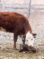 Photo: A 2-year-old cow attends to her newborn calf. Link to photo information