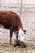 Minutes after giving birth, a 2-year-old cow attends to her newborn calf