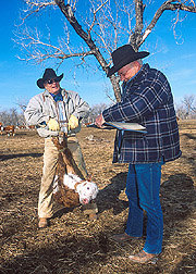 Herdsman lifts a calf with a weight scale: Click here for full photo caption.
