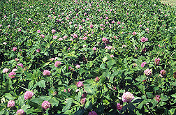 Red clover silage: Click here for full photo caption.