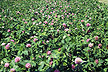 Red clover silage