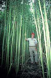 Photo: A stand of kenaf in the Texas Rio Grande Valley towers over an ARS scientist. Link to photo information