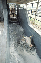 Quarantined cow goes through a tick treatment bath: Click here for full photo caption.