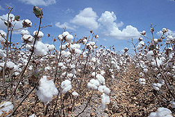 Cotton: Click here for photo caption.