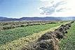 Alfalfa field.