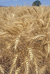 Photo: Winter wheat. Link to photo information