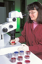 Biological technician prepares to count colonies of bacteria: Click here for full photo caption.