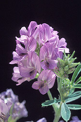Photo: LFlowering alfalfa. Link to photo information