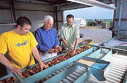 Photo: Apples being examined to evaluate the effectiveness of biological treatments for postharvest decay control.