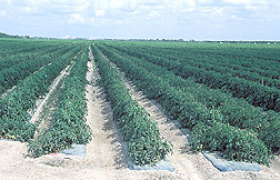 Photo: Tomato beds mulched with plastic. Link to photo information